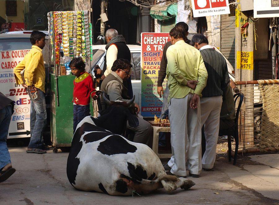Vaca jugando al ajedrez