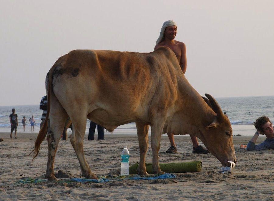 Vacas en la playa Goa India