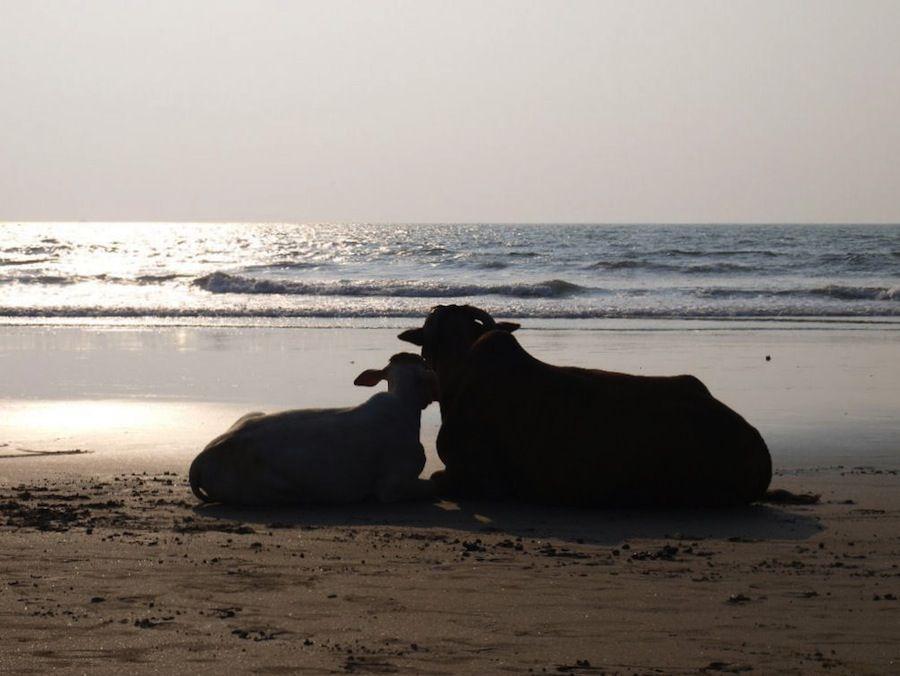 Vacas en la playa India
