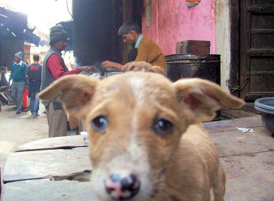 Perrito calle Pushkar India