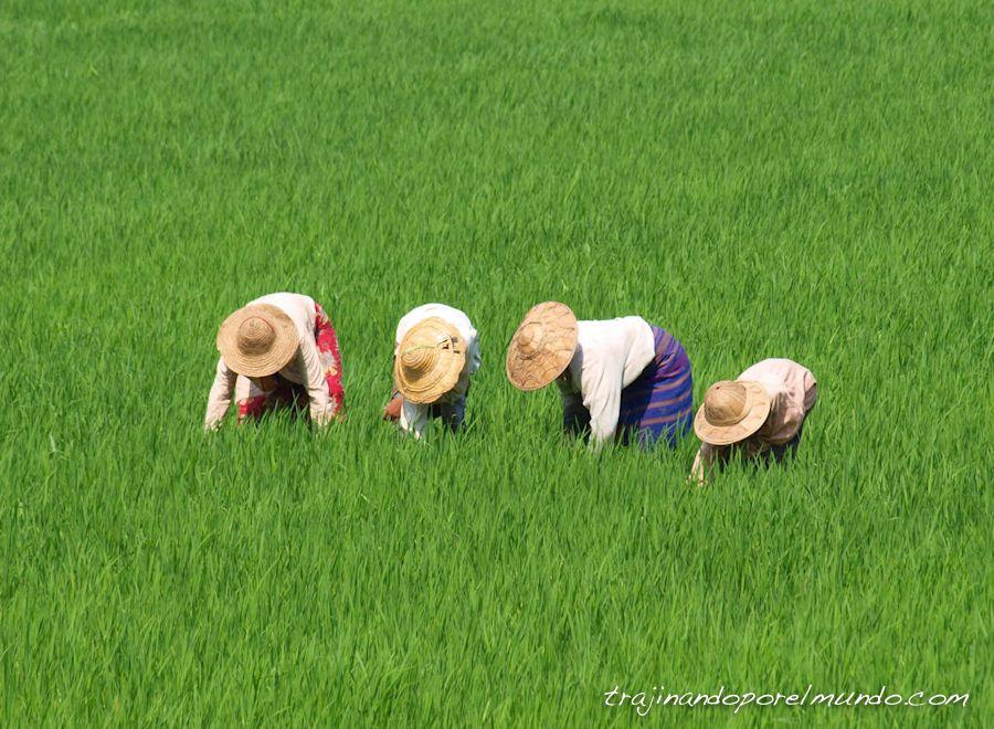 arrozales, lago inle, myanmar, viaje, sudeste asiatico