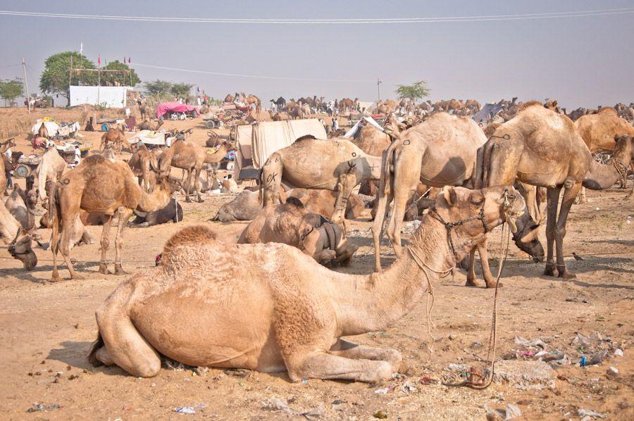 Camels Pushkar Mela India