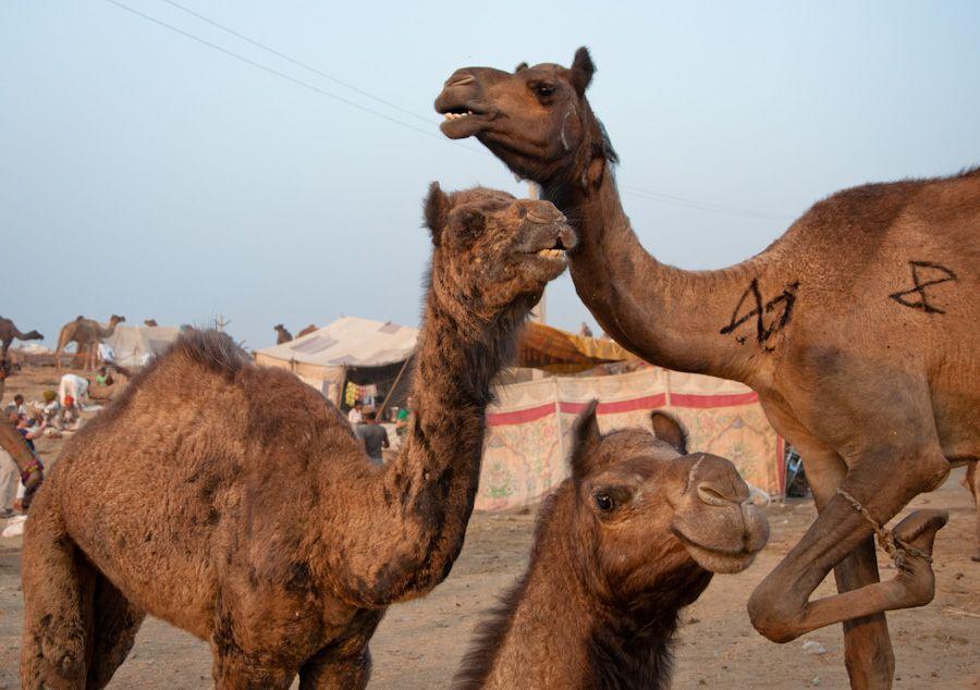 Feria Camello Pushkar 2012