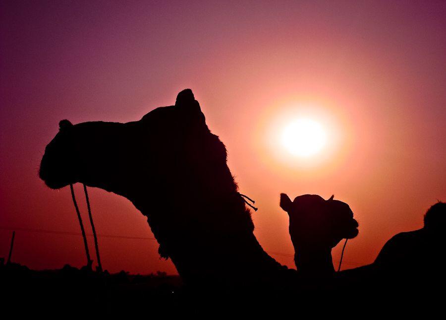 Atardecer sunset camels