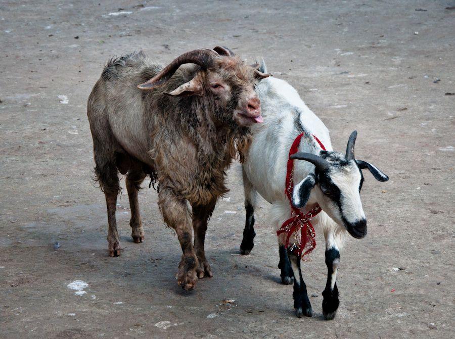 India, sacrificios, animales, templo, Guwahati, Kali, Assam