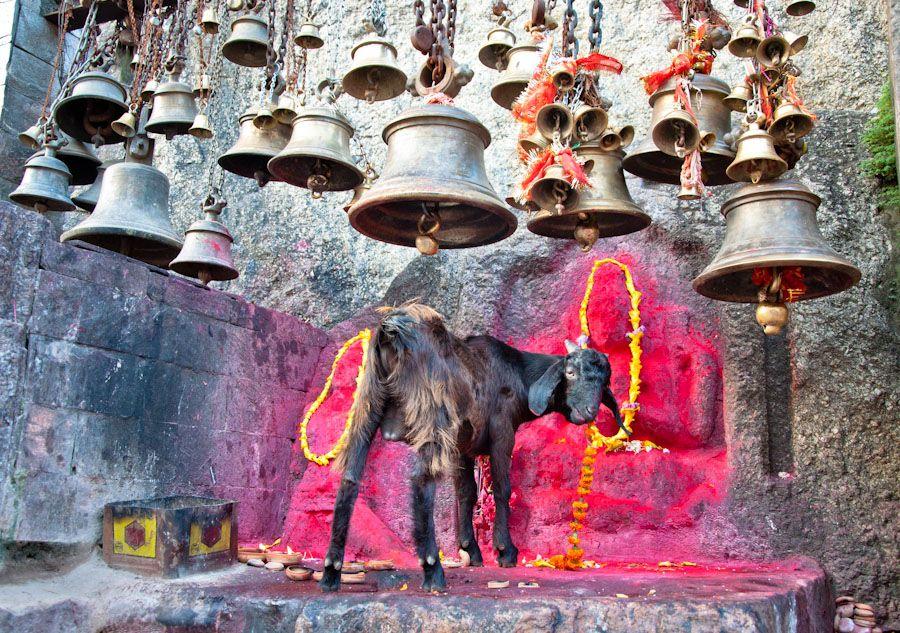 India, sacrificios, religion, templos, cabra, animales, Guwahati, Assam