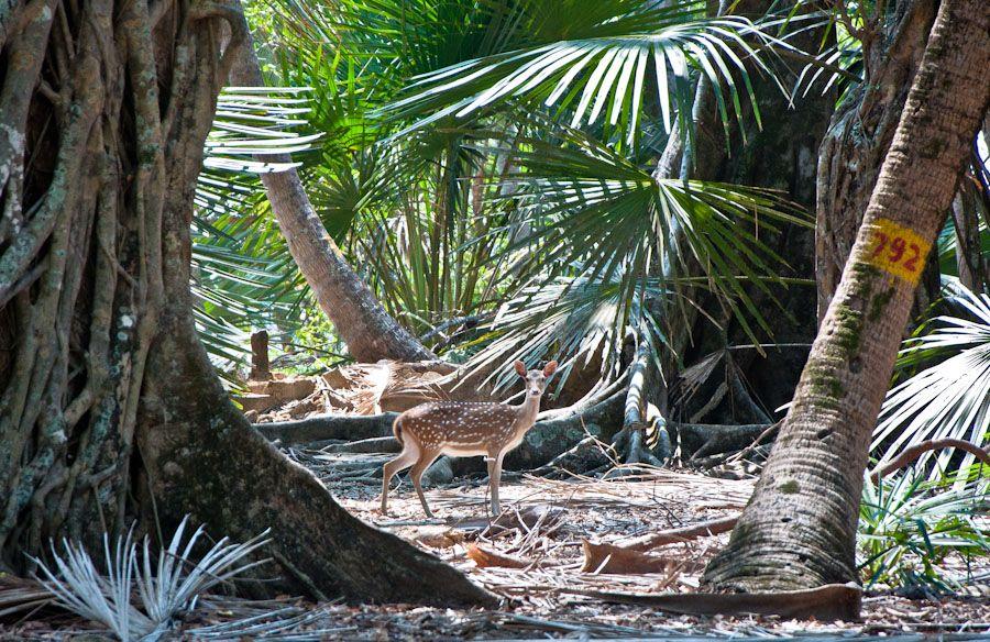 Andaman, India, que ver, isla, ciervos, fauna, que ver