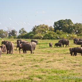 sri-lanka-elefantes-safari