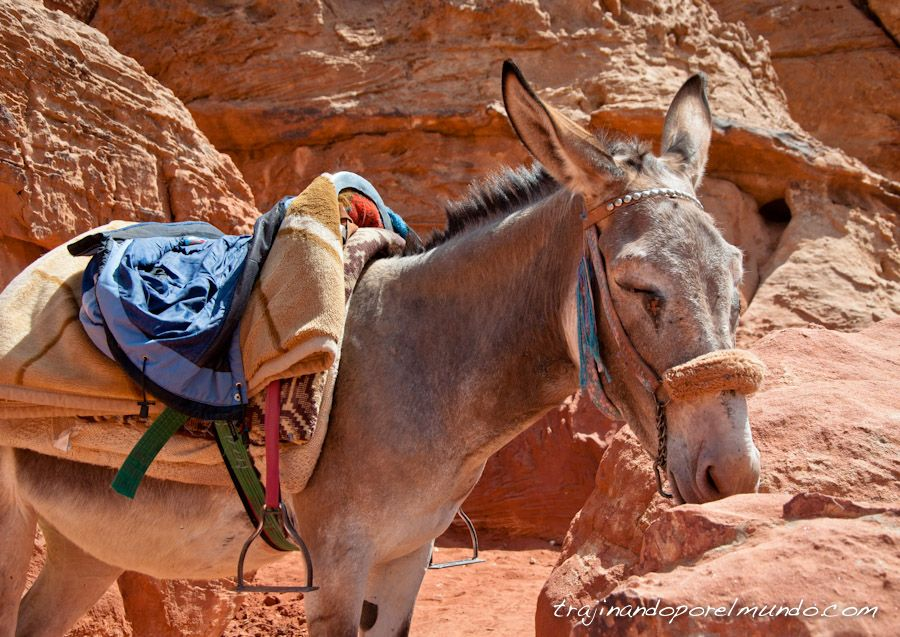 paseos en burro, petra, explotacion, animal