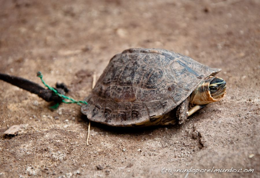tortuga, mascota, Filipinas, animales, viaje