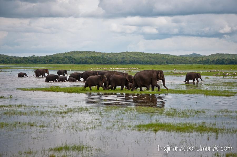 Manada de elefantes en Sri Lanka
