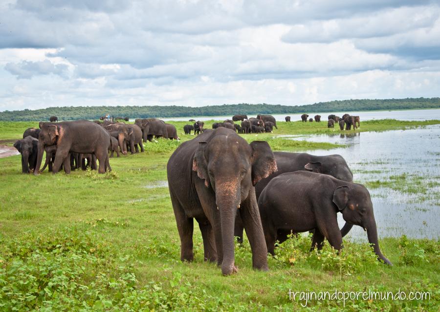 Elefantes en libertad en Sri Lanka
