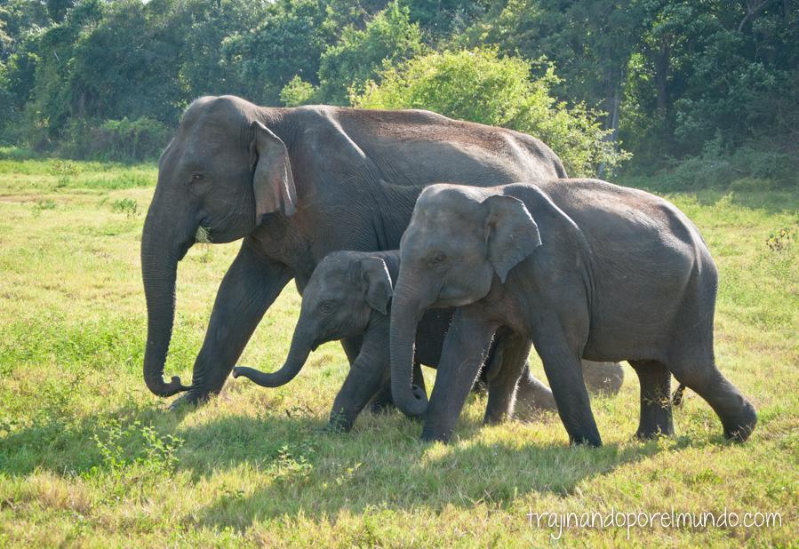 Elefantes en Parque Nacional de Sri Lanka